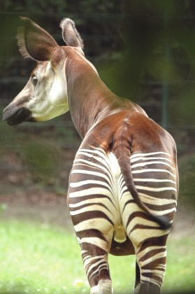 Okapi #01  (Zoo Berlin)