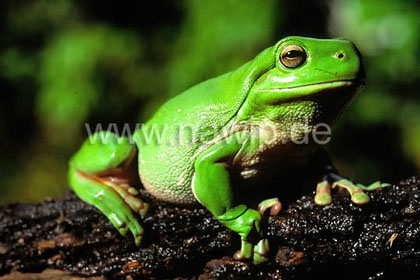 Large Green Tree Frog, Litoria caerulea / AMP_06