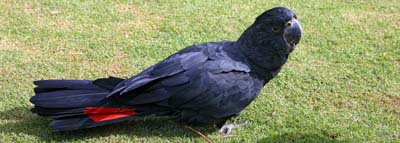0522 - Red-tailed Black Cockatoo