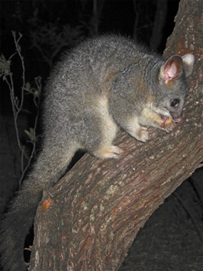 0065 - Western brush-tailed Possum