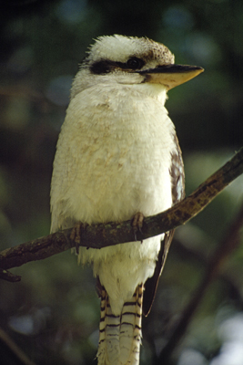 0623 - Laughing Kookaburra
