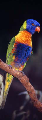 0068 - Rainbow Lorikeet