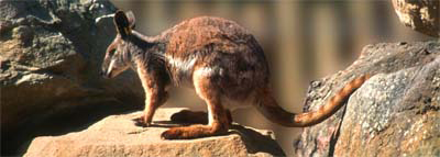 0070 - Rock Wallaby