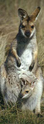 0071 - Black-striped Wallaby