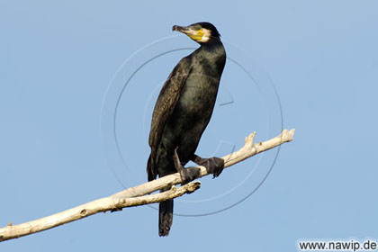 Kormoran, Phalacrocorax carbo / VG166D