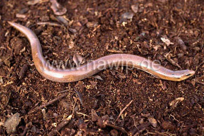 Legless Lizard / REP_02