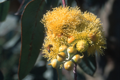 0185 - Yellow-flowering Eucalypt