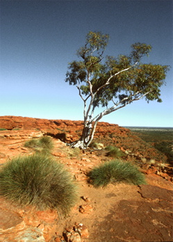0197 - Outback Eucalypt - Kings Canyon