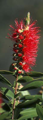 0114 - Red Bottlebrush