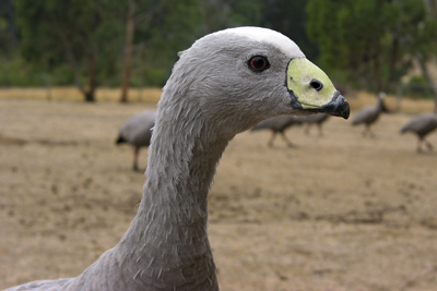 0052 - Cape Barren Goose