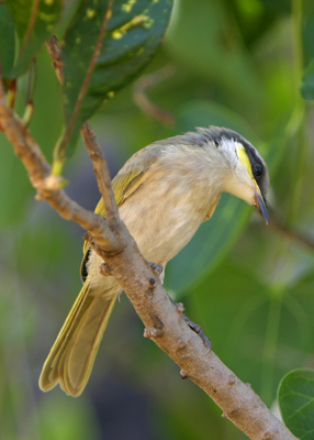 0400 - Singing Honeyeater