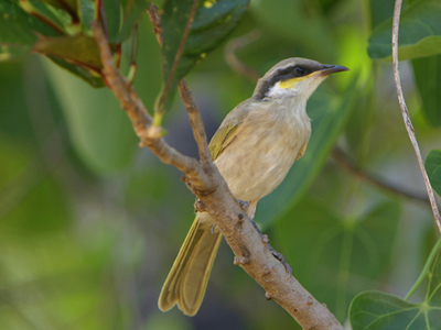 0358 - Singing Honeyeater