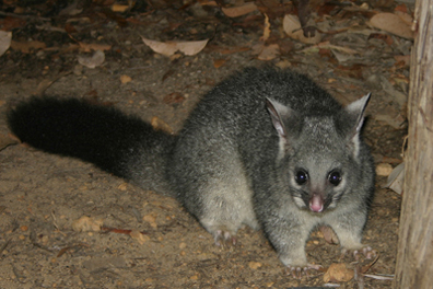0534 - Western brush-tailed Possum
