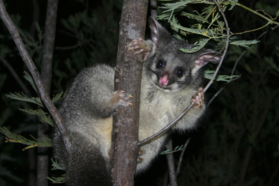 0536 - Western brush-tailed Possum