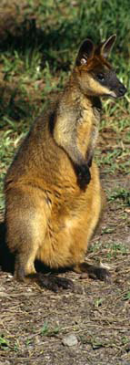 0176 - Swamp Wallaby