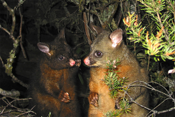 0051 - Tasmanian brush-tailed Possums