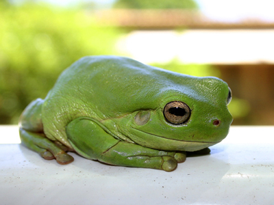 0338 - Green Tree Frog