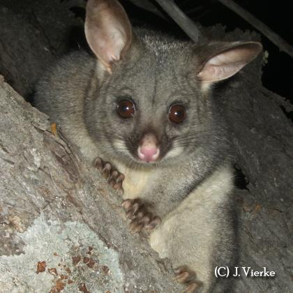 Common Brushtail Possum - Trichosurus vulpeculata