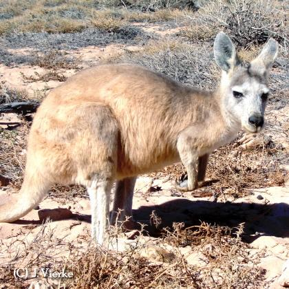 Euro / CommonWallaroo - Macropus robustus