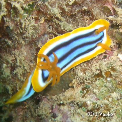Chromodoris elisabethinae