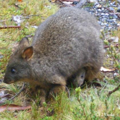 Pademelon - Thylogale billiardierea