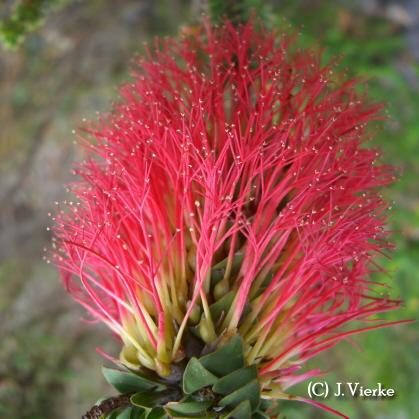 Gravel Bottlebrush - Beaufordia squarrosa