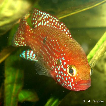 Roter Cichlide Hemichromis spec. aff. lifalili