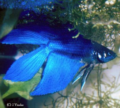Betta splendens, Männchen