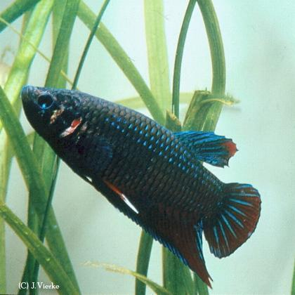 Betta splendens Wildtyp aus Südthailand