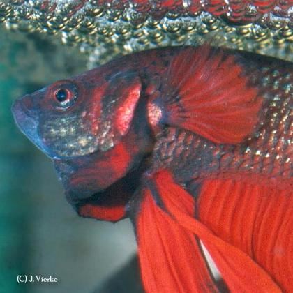 Roter Betta splendens, drohend