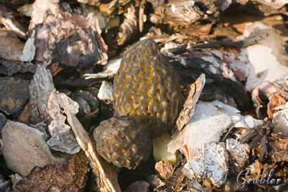 Spitzmorchel - Morchella conica